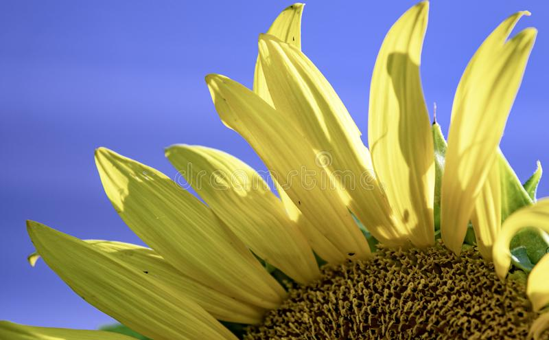 Sunflower petals close up. Close-up of sunflower Helianthus petals against a blue sky background stock image
