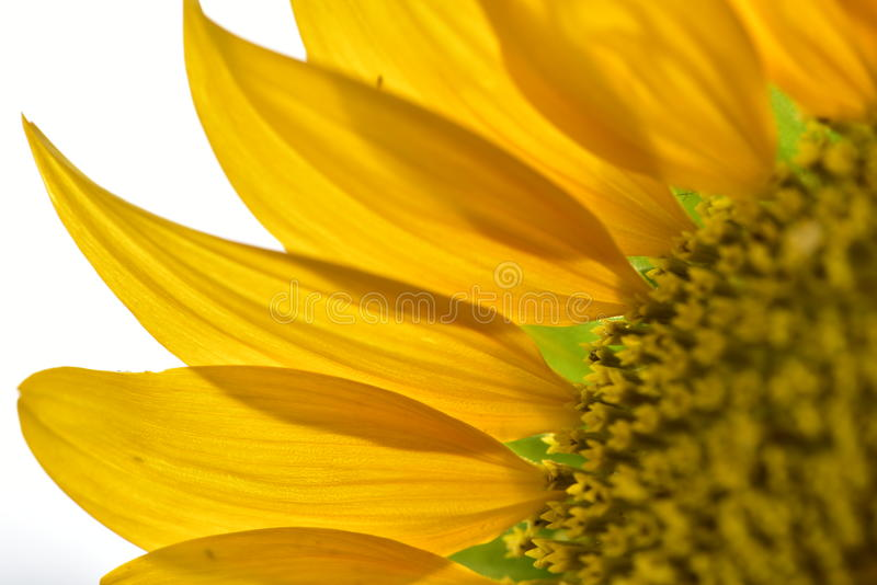 Sunflower petals closeup. Sunflower petals bright in the sunshine stock photos