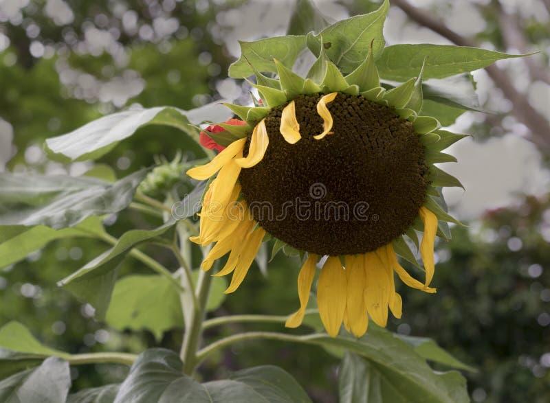 Sunflower petals has fallen apart stock photo