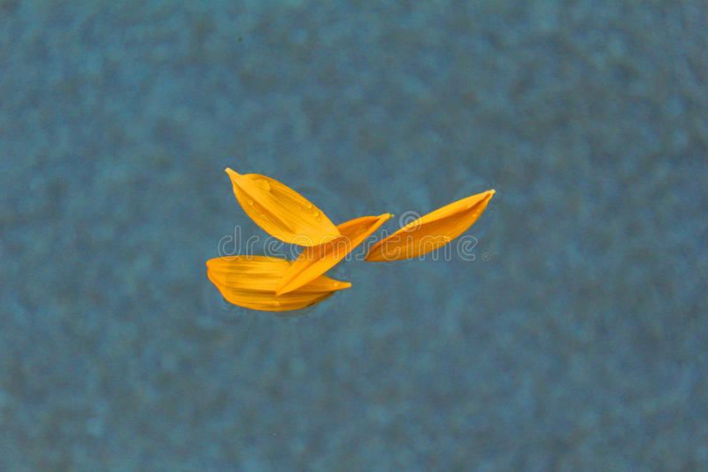 Sunflower petals. Large yellow sunflower petals floating in water royalty free stock photo