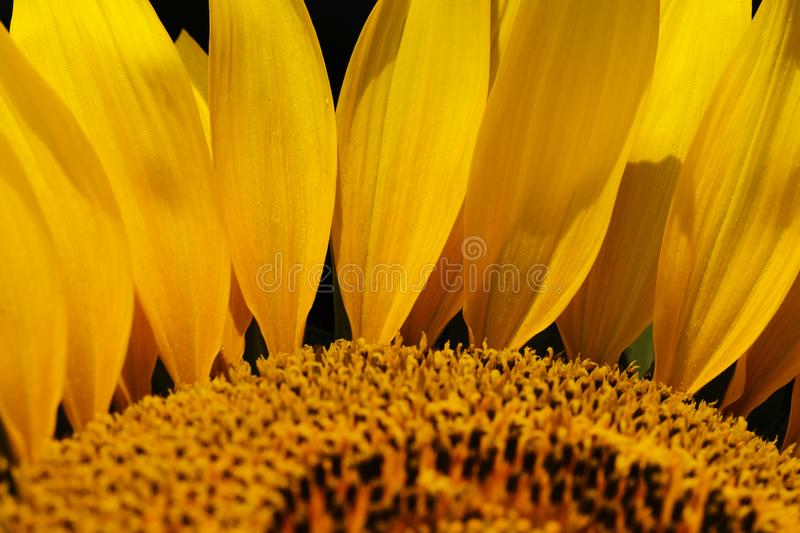 Sunflower petals macro. Close-up detail and texture royalty free stock images