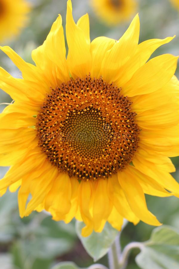 Sunflower with petals on a stem. Sunflower flower with yellow petals on a stalk on a field in Russia stock photos