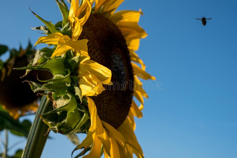 Sunflower, photographed from the side in natural daylight on a clear summer`s day. A bee can be seen hovering close to the flower royalty free stock photography