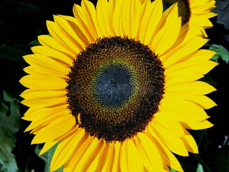 Sunflower. A sunflower picture taken from a garden in Brazil royalty free stock image