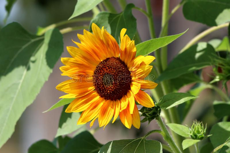 Sunflower plant with fully open blooming bright yellow with red petals and dark center surrounded with green leaves in local urban stock photography