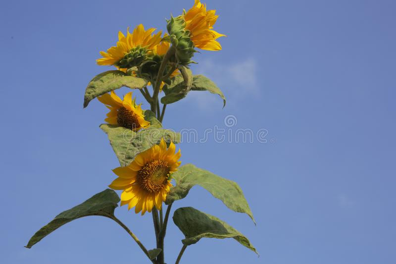 Sunflower plant grow against a background of blue sky. Sunflowers blossom and the clean sky cloud. Copy space for text or design royalty free stock image