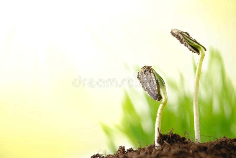 Sunflower plant sprouts royalty free stock photos