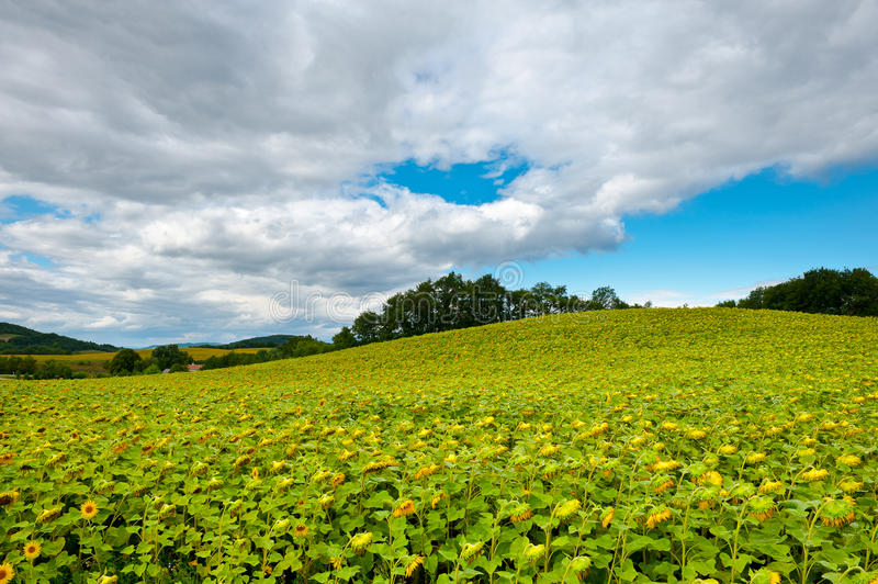 Download Sunflower Plantation stock image. Image of farm, hill - 23592041