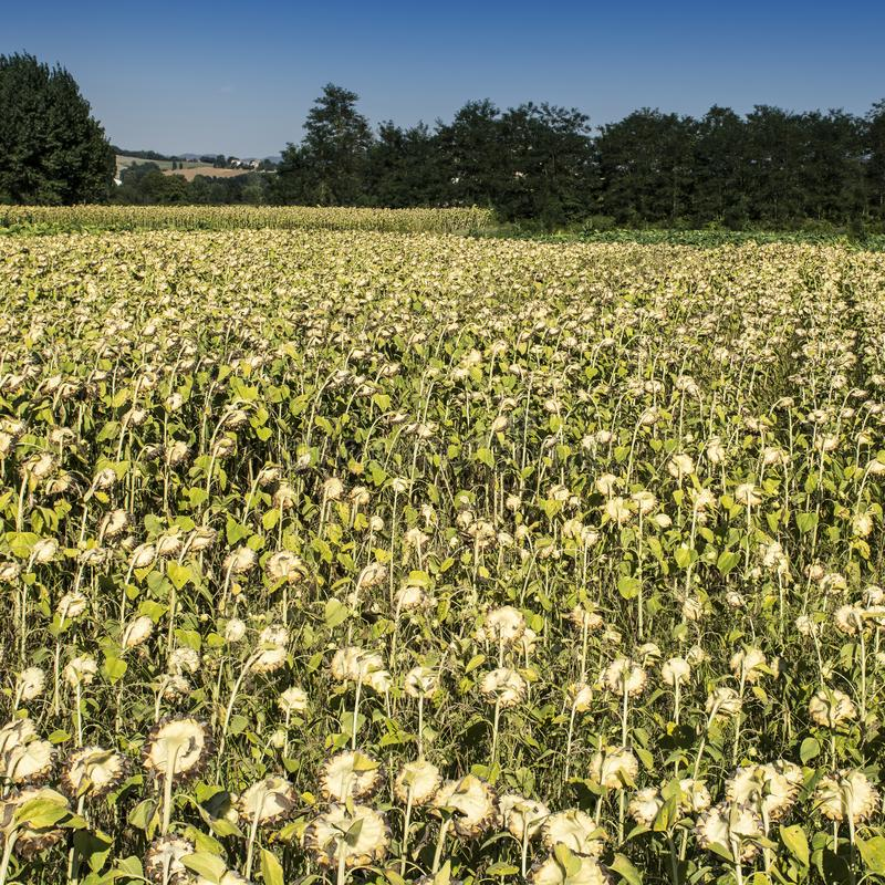 Sunflower plantation in Tuscany. Ripe sunflowers in the field with the heads bowed down in autumn royalty free stock image