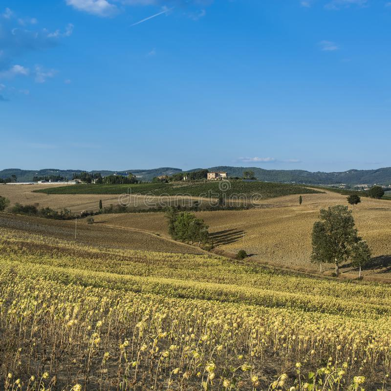 Sunflower plantation in Tuscany. Ripe sunflowers in the field with the heads bowed down in autumn stock photo