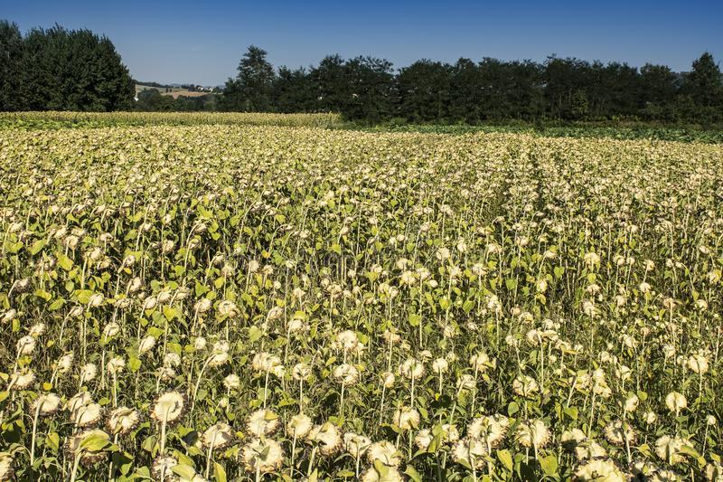 Sunflower plantation in Tuscany. Ripe sunflowers in the field with the heads bowed down in autumn stock images