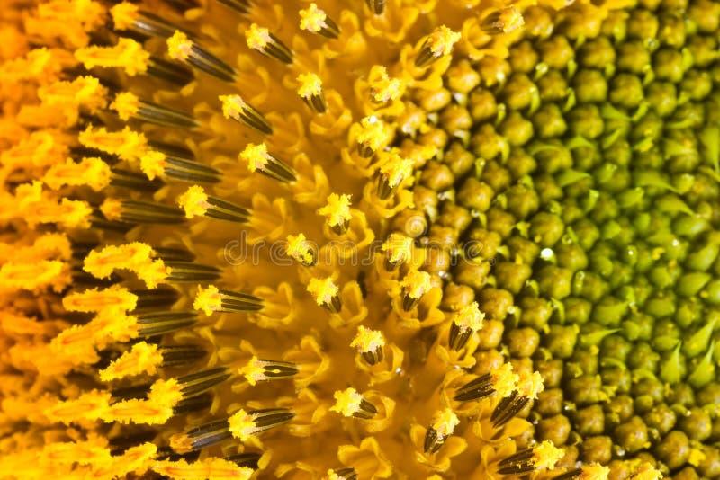 Sunflower pollen stock image