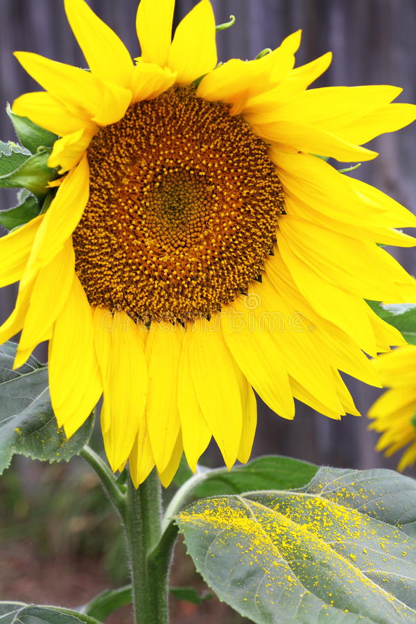 Download Sunflower With Pollen On Leaf Stock Photo - Image: 28263542
