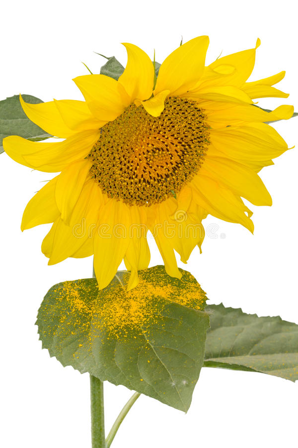 Download Sunflower pollen stock image. Image of nobody, background - 31661031