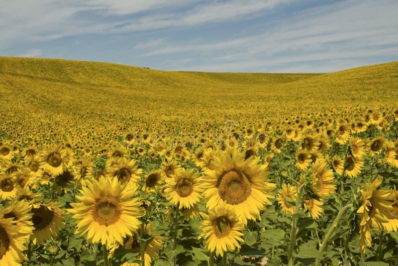 Sunflower,Provence. France. stock photos