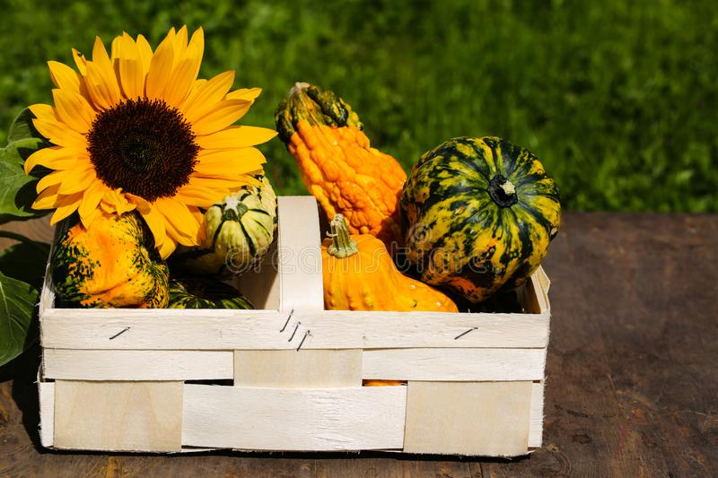 Sunflower and pumpkin in a basket, autumn begins. Decoration royalty free stock photo