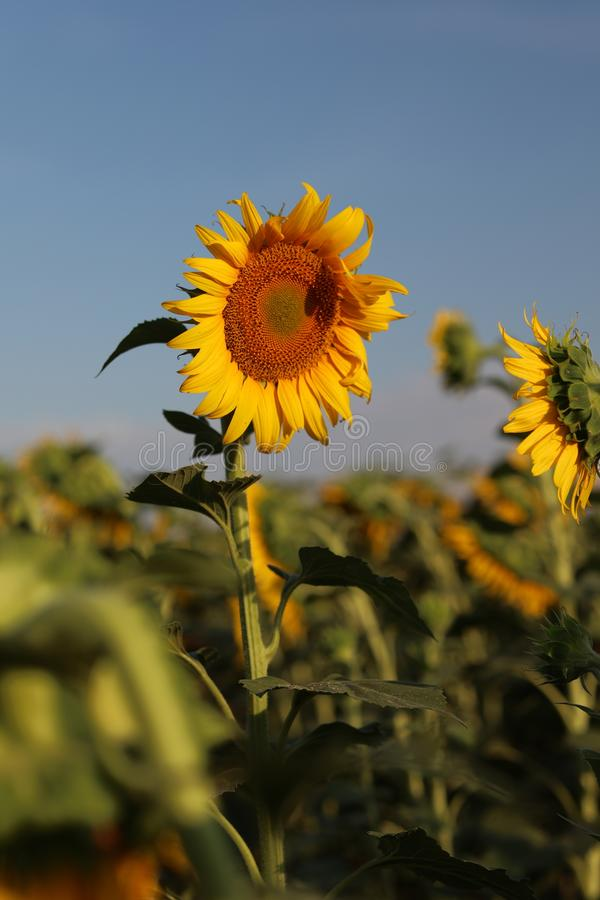 Sunflower in the rays of the evening sun royalty free stock photo