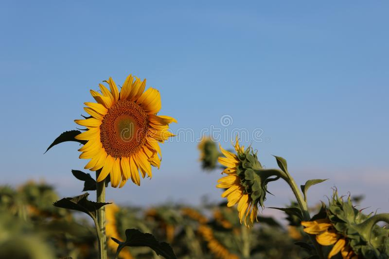 Sunflower in the rays of the evening sun stock photos