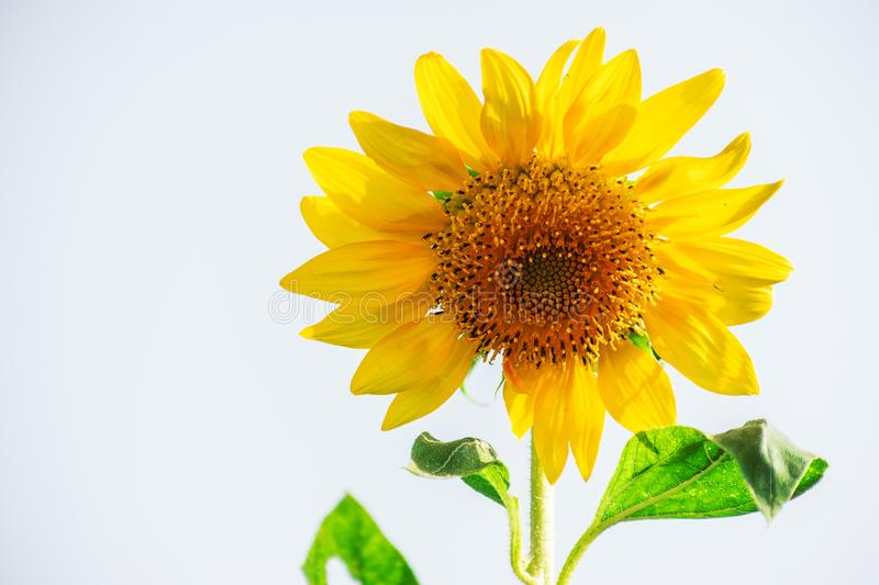 Sunflower red yellow green white background with space white stock images