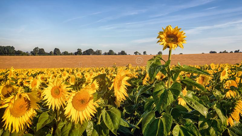 Sunflower rising above the rest. A rogue sunflower growing taller than the rest of the field as they bathe in the early morning sunshine royalty free stock photos