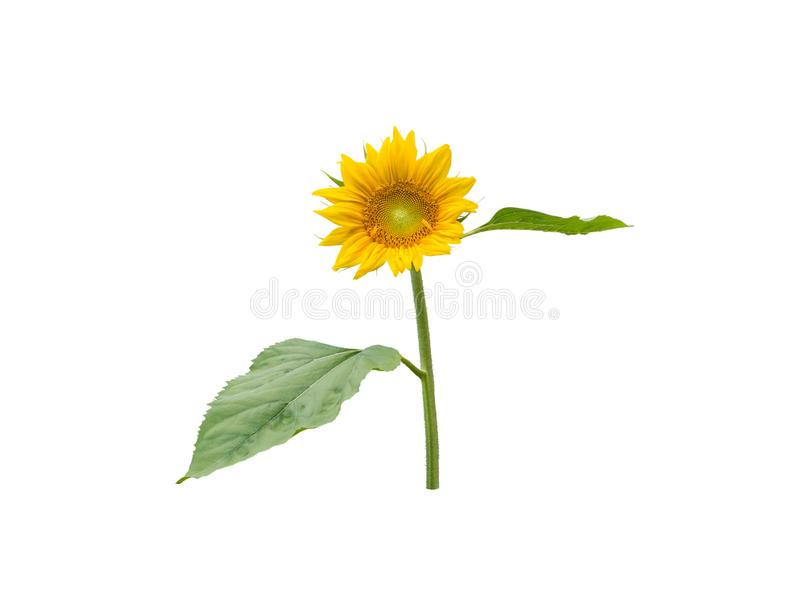 Sunflower round flower head with leaves royalty free stock photo