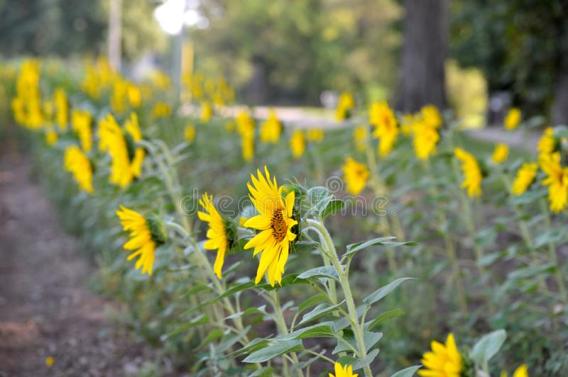 Sunflower rows royalty free stock photo