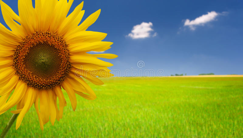 Sunflower says Hello! stock photos