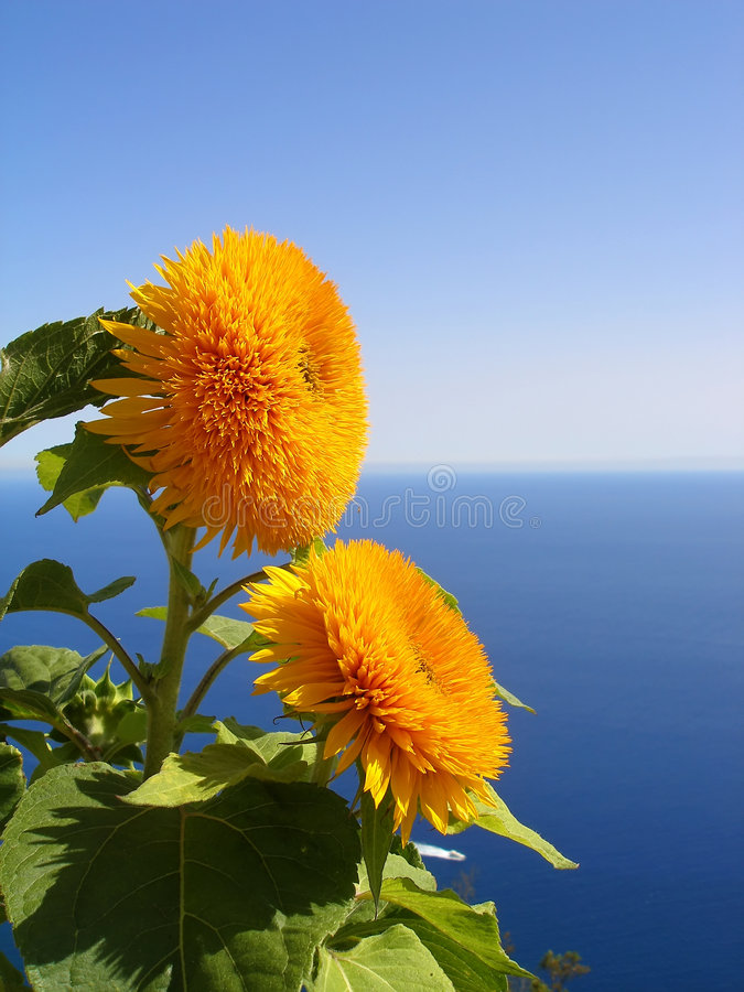 Sunflower with the sea in background stock images