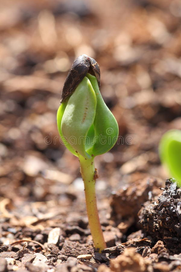 Sunflower seedling royalty free stock images