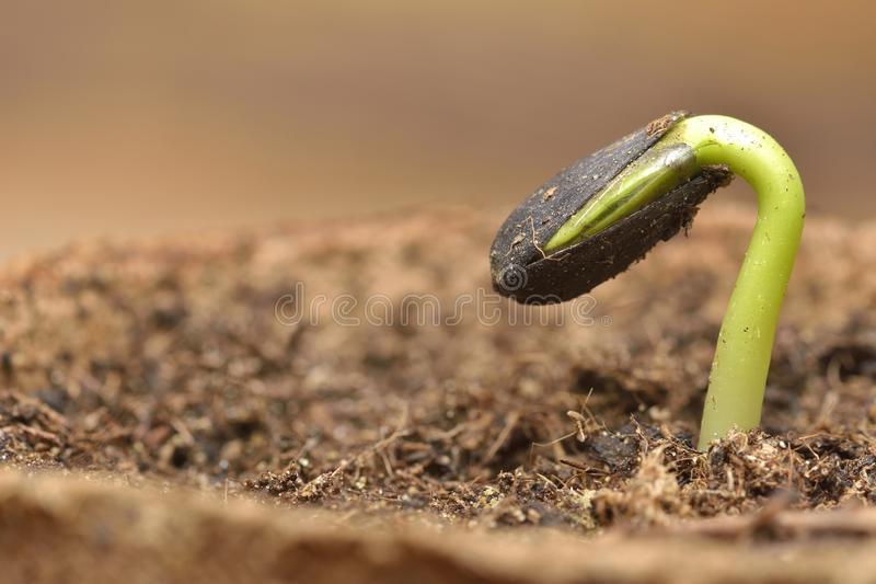 Sunflower seedling bursting from its seed casing. royalty free stock photography