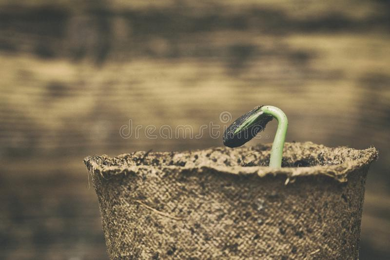 Sunflower seedling bursting from its seed casing. royalty free stock images