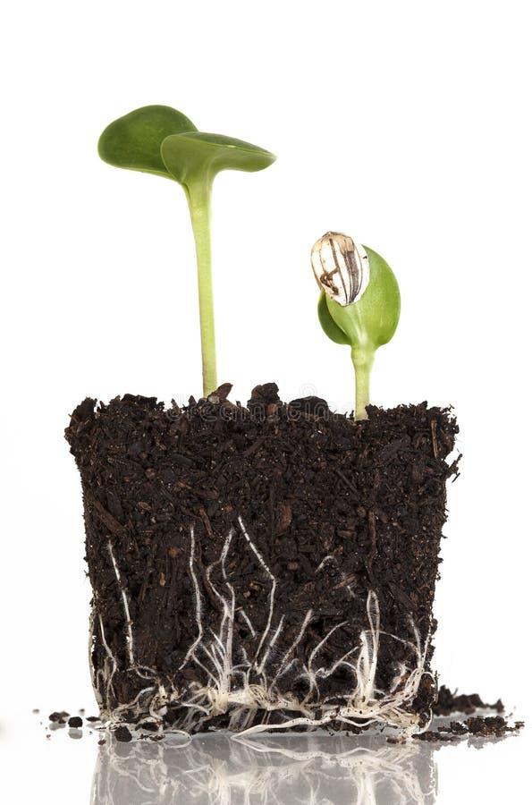 Sunflower Seedlings stock image