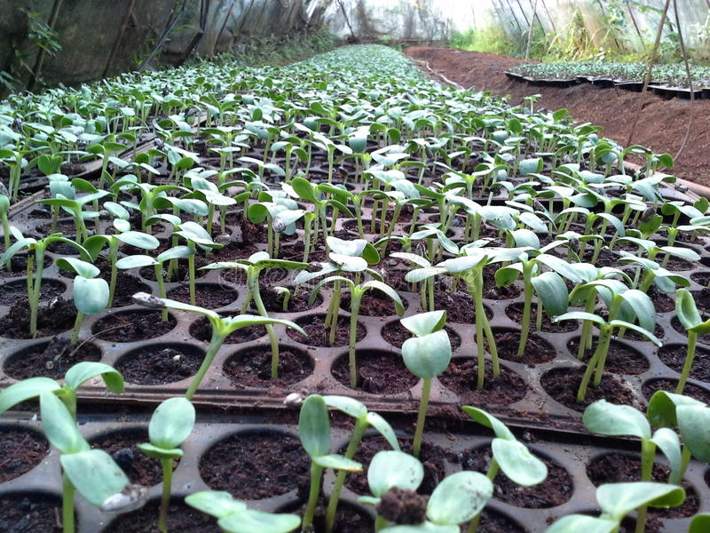 Sunflower seedlings stock image. Image of cultivation ...