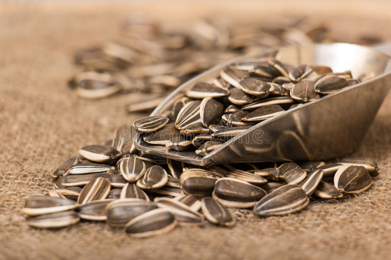 Sunflower seeds. On burlap sack stock images