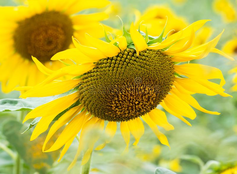 Sunflower seeds in fresh sunflower growing up in the organic garden, plant food for health. Close up sunflower seeds in fresh sunflower growing up in the royalty free stock image