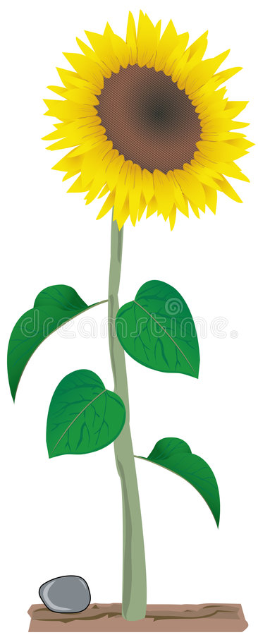Sunflower series 2 royalty free illustration