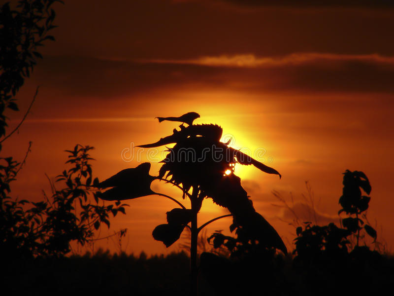 Sunflower silhouettes. Sunflower silhouette against the sunset with gold and red colours stock images