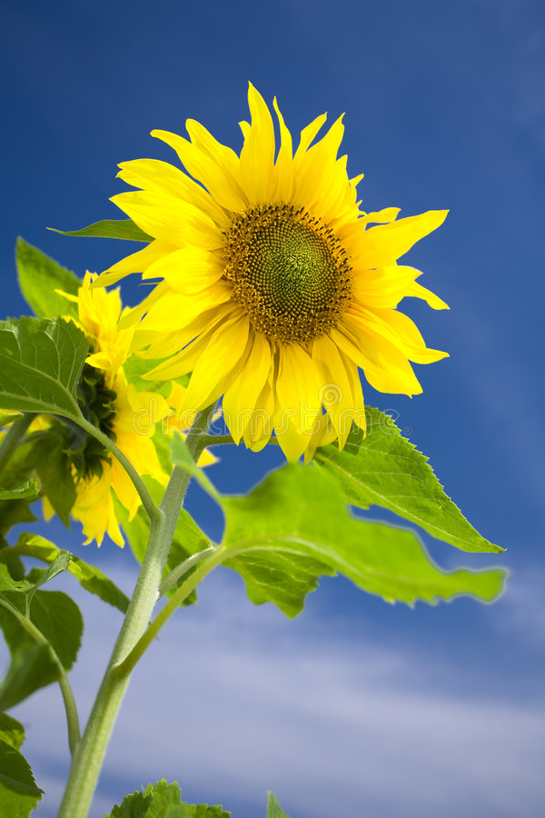 Download Sunflower and sky stock image. Image of image, pollen - 6548425