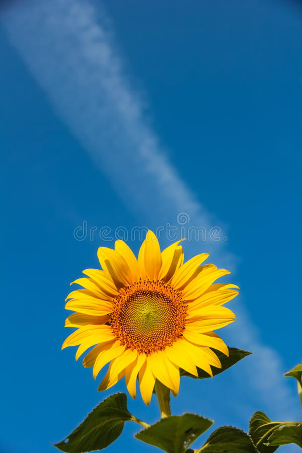 Sunflower on sky blackground royalty free stock images