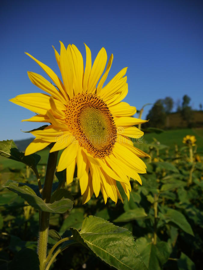 Sunflower sky outside royalty free stock photo