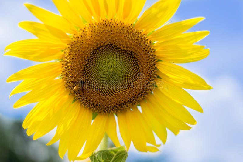 Sunflower sky outside royalty free stock images