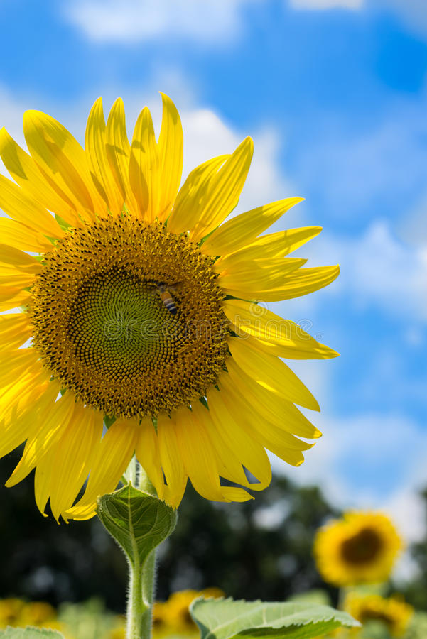 Sunflower sky outside royalty free stock photography