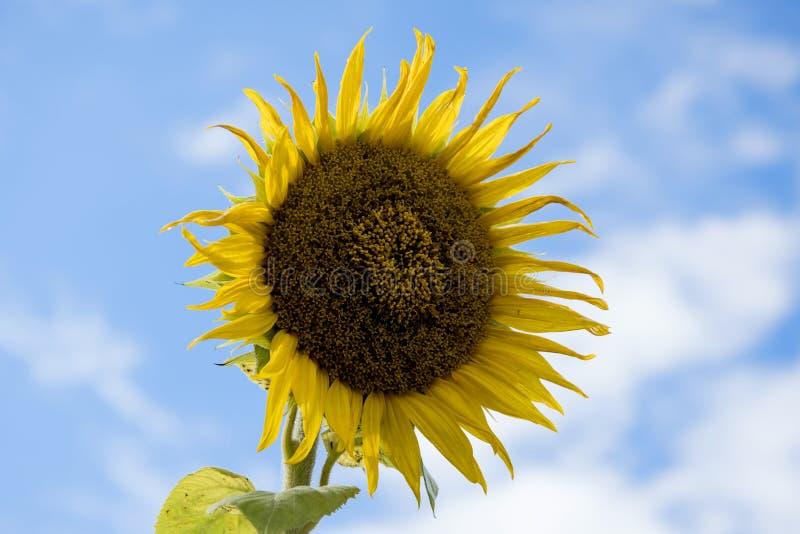 Download SUNFLOWER stock image. Image of skyward, upwards, seeds - 99299251
