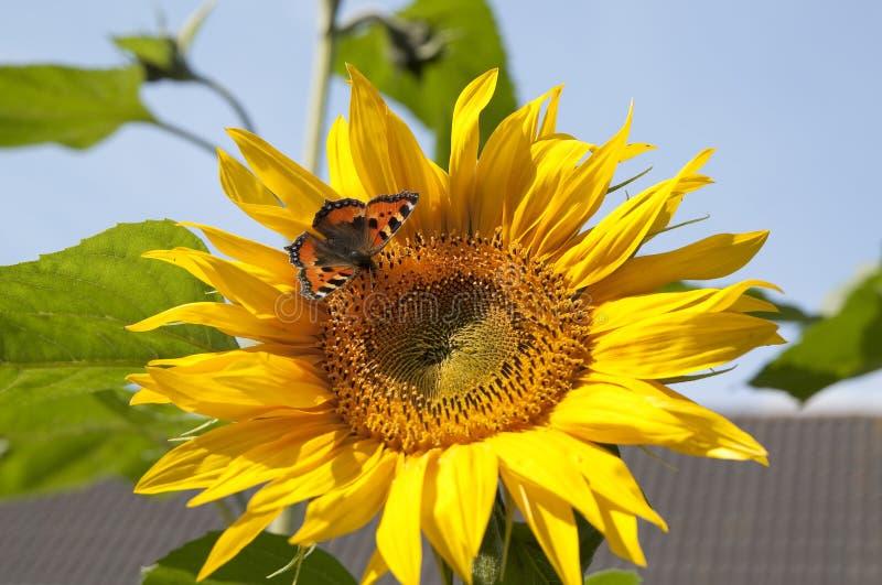 Download Sunflower With Small Tortoiseshell Stock Photo - Image: 39250850