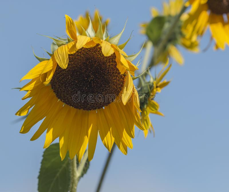 Sunflower starting to wilt with a blue sky above stock images