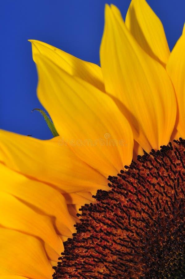 Free SunFlower Studio Series 5 Stock Photography - 5009622