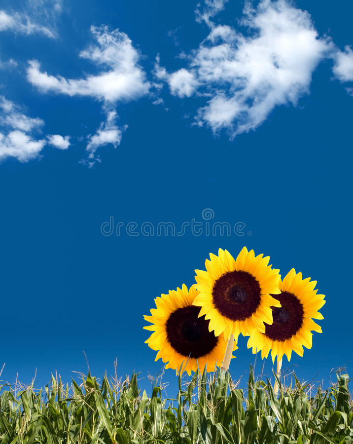 Free Sunflower Summer Royalty Free Stock Photos - 20866548