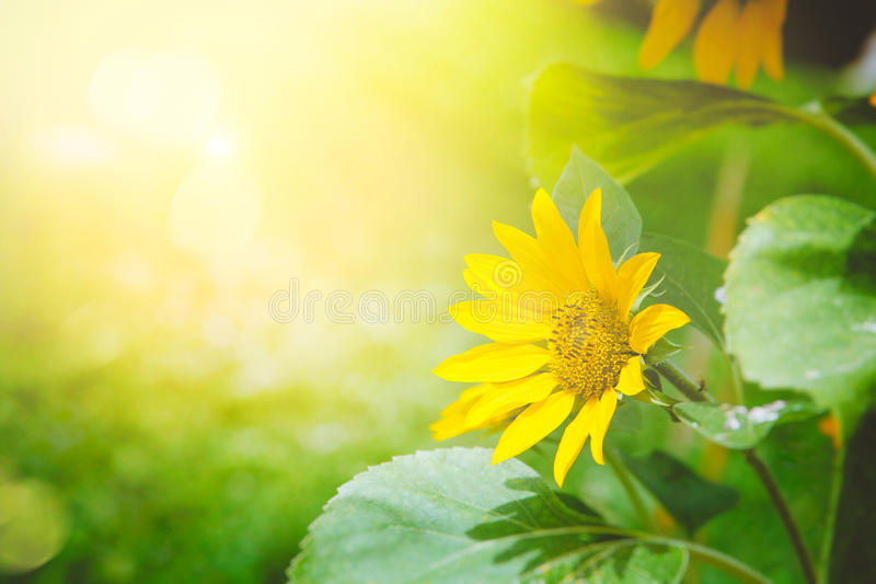 Sunflower summer background royalty free stock images