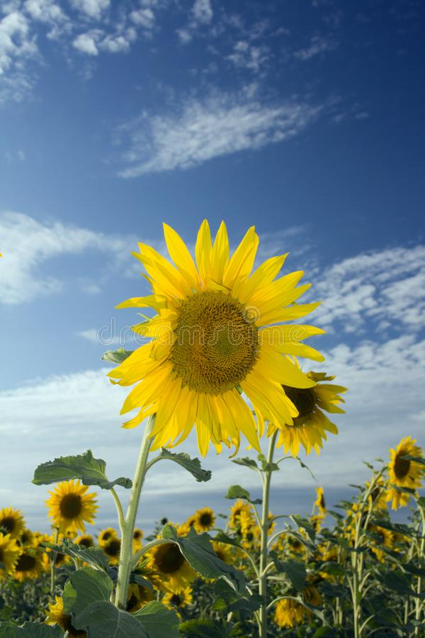 Sunflower on the summer field stock photography