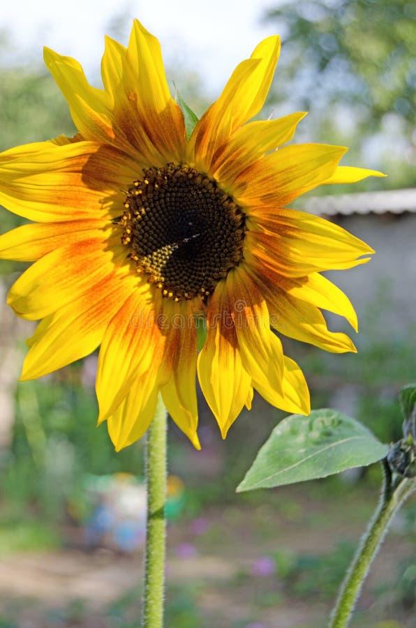 Sunflower in summer. Flowering plants stock photo